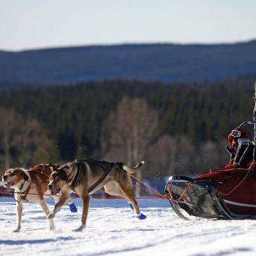 Swedish championship 8 dog team.